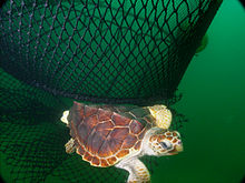 Photograph of a marine turtle escaping from a specially-designed fishing net