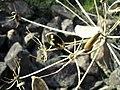 Lomatium dissectum var. multifidum mature seeds 2.jpg