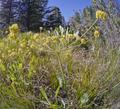 Lomatium nudicaule near Squilchuck State Park Chelan County Washington.png