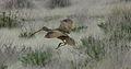 Long-billed Curlew 02.jpg