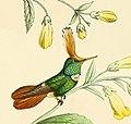 Lophornis stictolophus Bevalet.jpg