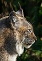 Lynx 1 (8488615557).jpg