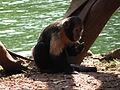 Macaco-prego-do-peito-amarelo 2.jpg