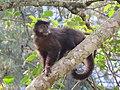 Macaco-prego (Cebus appella).jpg