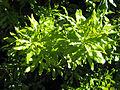MacadamiaFoliage.jpg