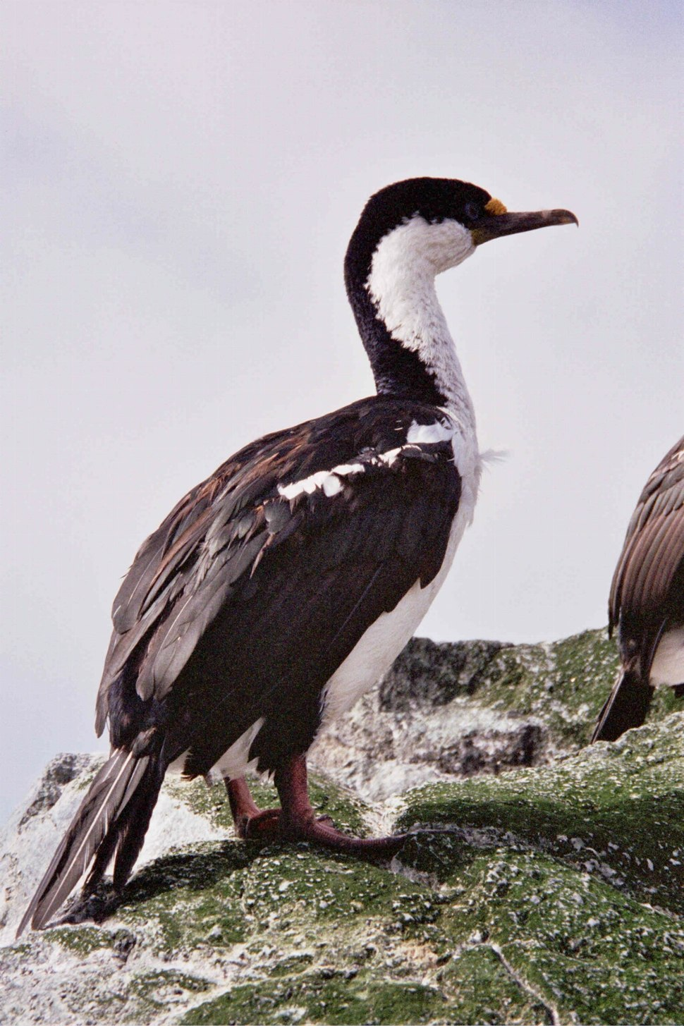 MacquarieIslandCormorant