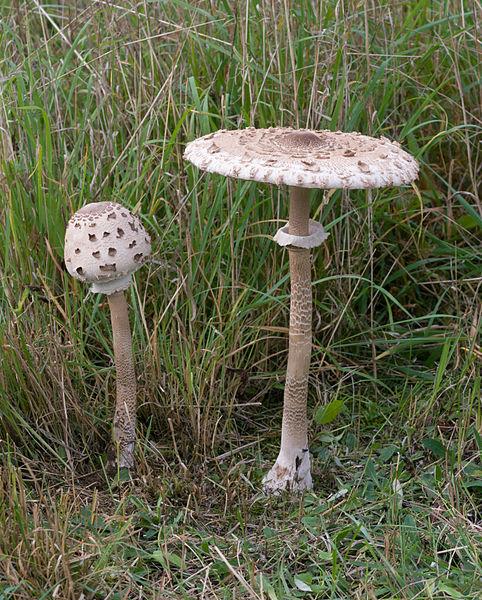 Los hongos de los golgari 482px-Macrolepiota-procera