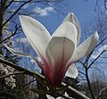 Magnolia cylindrica flower.jpg