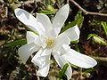 Magnolia stellata6.jpg