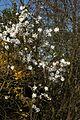 Magnolia stellata A.jpg