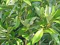 Magnolia virginiana Moonglow 1zz.jpg