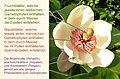 Magnolia wieseneri - Blüte beschriftet.jpg