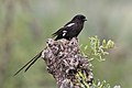 Magpie shrike, Urolestes melanoleucus, at Kruger National Park (44870513945).jpg