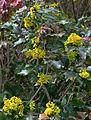 Mahonia aquifolium 1, Kurpark, Brilon, Germany.jpg