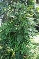 Mahonia lomariifolia kz5.jpg
