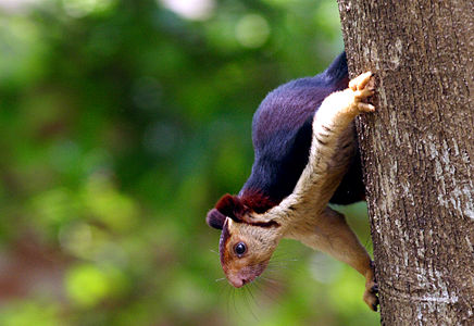 Malabar giant squirrel (2) by N. A. Naseer.jpg