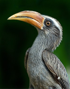 Radhanagari Wildlife Sanctuary - Adult male Malabar grey hornbill