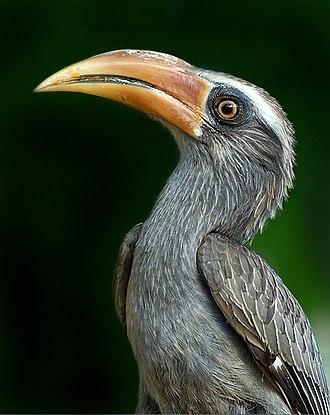 Hornbill - Malabar grey hornbill Ocyceros griseus