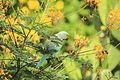 Male Rose Ringed Parakeet (Psittacula krameri).jpg