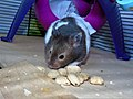 Male Sabled Banded Syrian Hamster.jpg