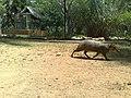 Mamífero en el Zoofari, Cuernavaca, Morelos.jpg