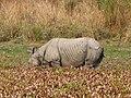 Mammal Rhino Kaziranga IMG 4676 09.jpg