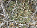 Mammillaria compressa (5706290111).jpg