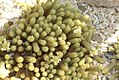 Mammillaria elongata 4zz.jpg