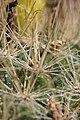 Mammillaria weingartiana 03.jpg