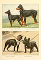 Manchester, dobermann, boston, french bulldog.jpg