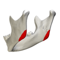 Mandibular angle - close-up - posterior view2.png