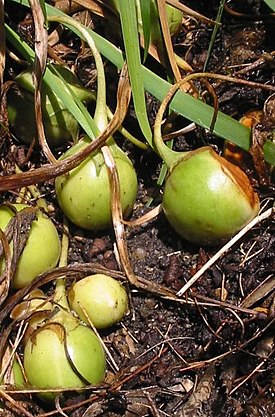 http://upload.wikimedia.org/wikipedia/commons/thumb/a/a4/Mandragore_officinale_fruits.jpg/275px-Mandragore_officinale_fruits.jpg
