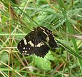 Map Butterfly. Female - Flickr - gailhampshire.jpg