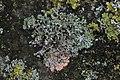 Marchandiomyces aurantiacus on Physica sp. (27927916099).jpg