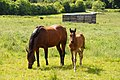 Mare and foal - geograph.org.uk - 859132.jpg