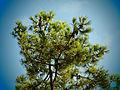 Maritime Pine at Ile De Re3.jpg
