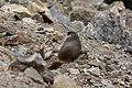 Marmota flaviventris (29813950851).jpg