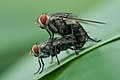 Mating flies - Happy Valentine's day (8472350111).jpg