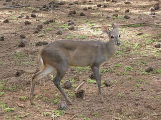 Brocket deer A genus of mammals belonging to the deer, muntjac, roe deer, reindeer, and moose family of ruminants