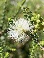 Melaleuca gibbosa white flower.jpg