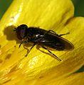 Melanogaster sp. (male) - Flickr - S. Rae (3).jpg