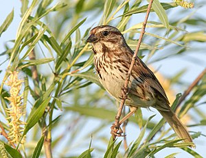 Song sparrow - in Whitby, Ontario, Canada