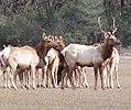 Mendocino Elk (3770382996).jpg