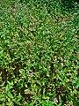 Mentha spicata var. viridis 001.JPG