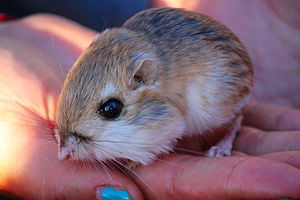 Merriam's kangaroo rat - Image: Merriam's Kangaroo Rat