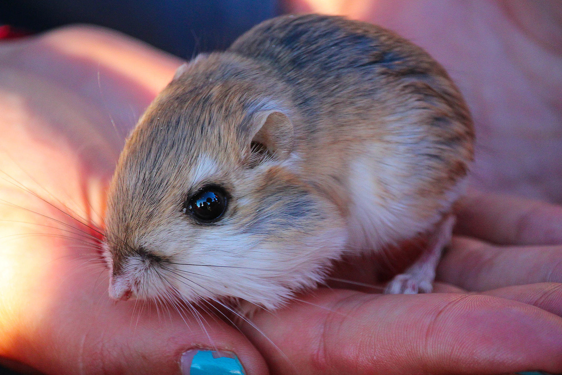 Merriam's kangaroo rat - Wikipedia