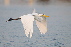 Intermediate egret - In flight