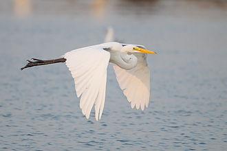 Intermediate egret - In flight