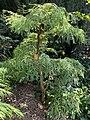 Metasequoia glyptostroboides 'Bonsai'.jpg