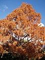 Metasequoia glyptostroboides Hu and W.C.Cheng (AM AK209566-2).jpg